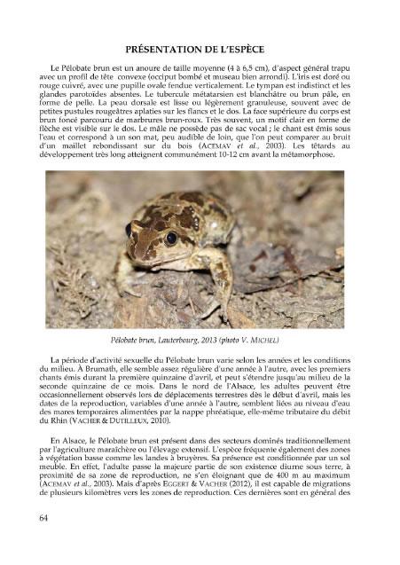 Le Pélobate brun en Alsace : statuts, menaces et conservation
